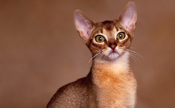 ABYSSINIAN CAT BREED | World Cat breeds