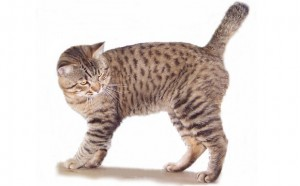 American Bobtail Cat Breed