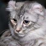 American Curl Cat Breed