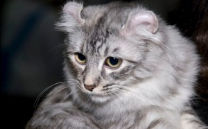 American Curl Cat Breed - CatsPlace.org