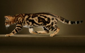 Bengal Cat Breed - CatsPlace.org