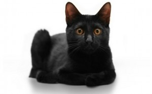 Bombay Cat Breed