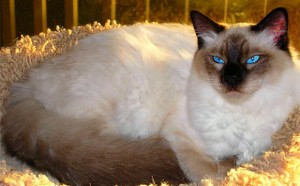 Balinese Cat Breed - CatsPlace.org