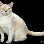 European Burmese Cat Breed