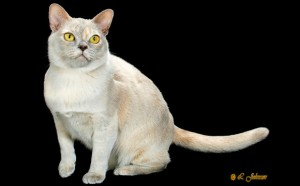 European Burmese Cat Breed
