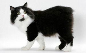 Cymric Cat Breed - CatsPlace.org