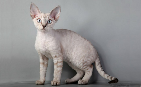 Devon Rex Cat Breed
