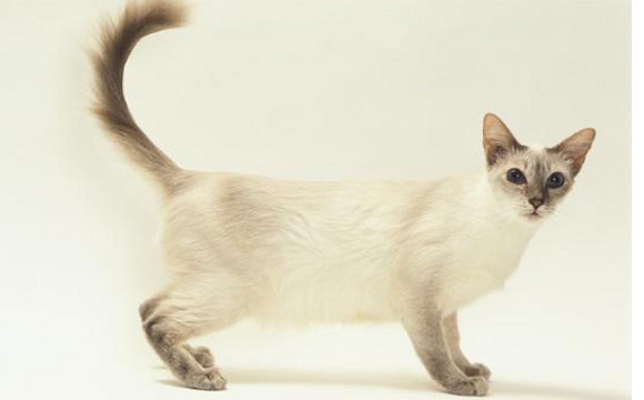Javanese Cat Breed