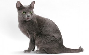 Korat Cat Breed - CatsPlace.org