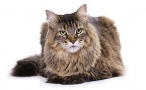 Maine Coon Cat Breed - CatsPlace.org