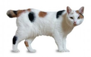 Manx Cat Breed