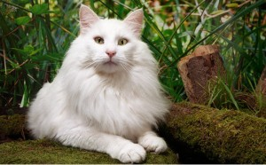 Norwegian Forest Cat Breed - CatsPlace.org