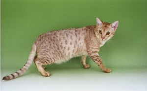 Ocicat Cat Breed