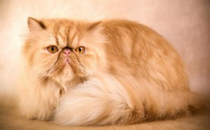 Persian Cat Breed - CatPlace.org