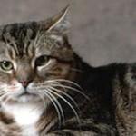 Randombred Cat Breed