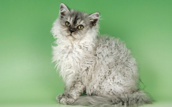 information about Selkirk Rex Cat Breed