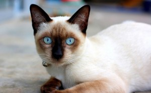 Siamese Cat Breed - CatPlace.org