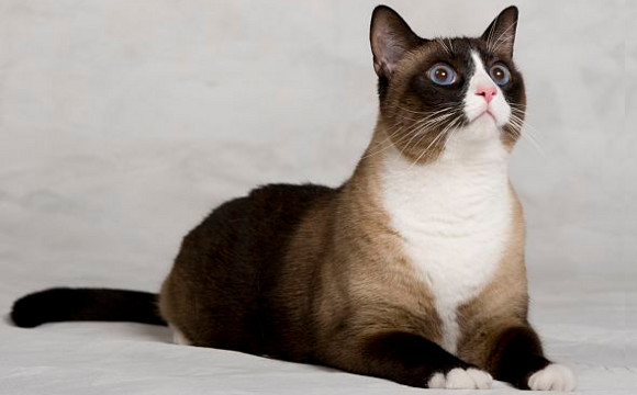 Snowshoe Cat Breed