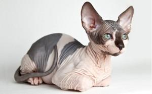 Sphynx Cat Breed - CatsPlace.org