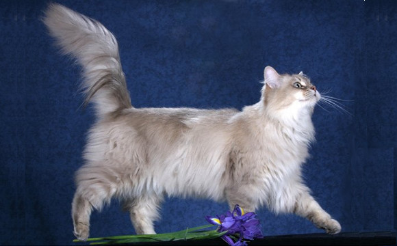 TIFFANY/CHANTILLY CAT BREED