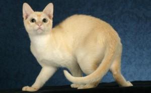 Tonkinese Cat Breed