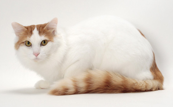 Turkish Van Cat Breed