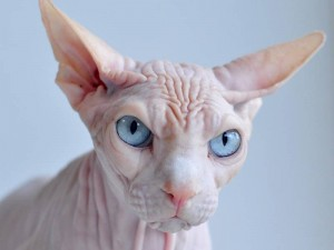 Sphynx Cat Breed hairless