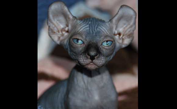 Elf Cat Breed