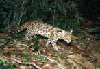 TIGRINA – A New Species of Wild Cat Found in Brazil