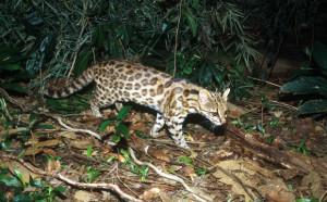 tigrina cat brazil