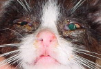 Feline Herpesvirus infection or Feline Viral Rhinotracheitis