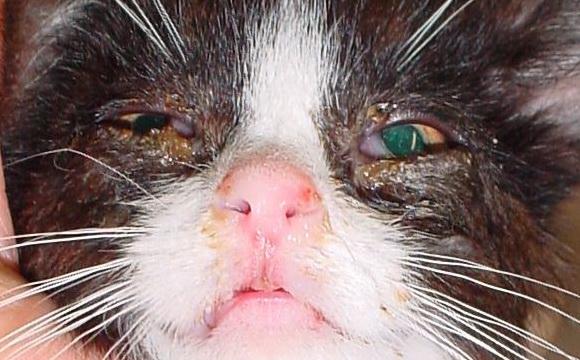 Do Cats Get Parvo Virus
