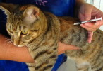 Cat Vaccines and Vaccination Schedule for Cats and Kittens