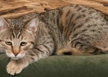 Pixiebob Cat Breed ( Pixie-Bob Cats ) Information
