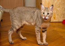 Chausie Cat Breed information