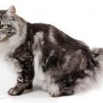 Kurilian Bobtails Cat Breed