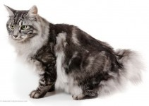 Kurilian Bobtails Cat Breed
