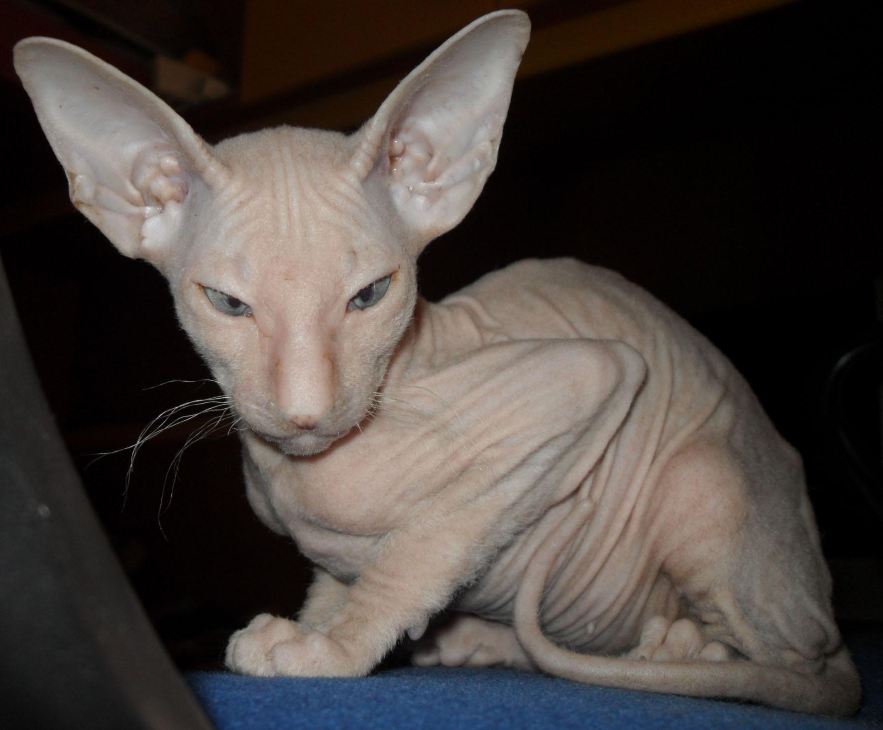 Bald cats: breed name, photo, description 74
