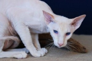 Peterbald Cat Breed Information and care