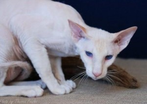 Peterbald Cat Breed Information, history of Peterbald cats