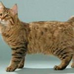 Pixiebob Cat Breed ( Pixie-Bob Cats ) Information and History