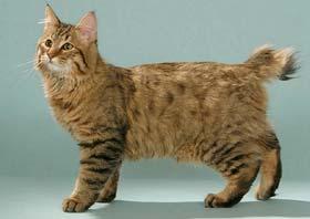 Pixiebob Cat Breed (Pixie-Bob Cat) Information