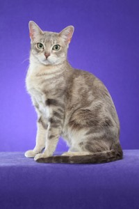 Australian Mist Cat breed Information
