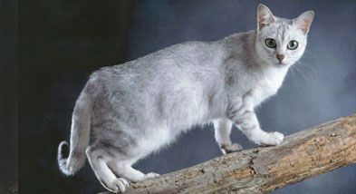 Burmilla cat breed information and burmilla history