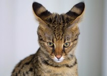 Savannah Cat Photo pictures