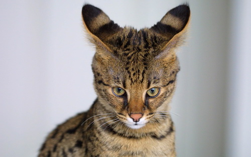 Savannah Cat Breed | Cat breeds of the world