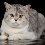 Scottish Straight Cat Breed photo and information