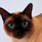 Thai cat breed Information and history
