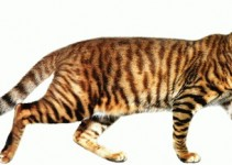 Toyger cat breed information and Toyger cat history