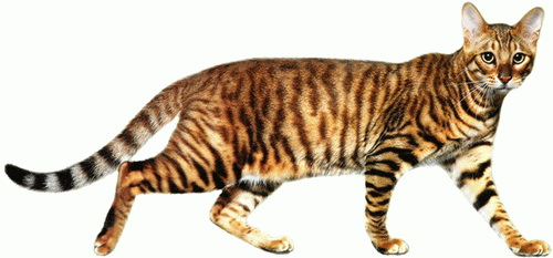 How much are toyger cats for pinterest